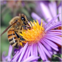 honey_bee_bee_insect_218160