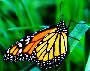 orangebutterfly4resize